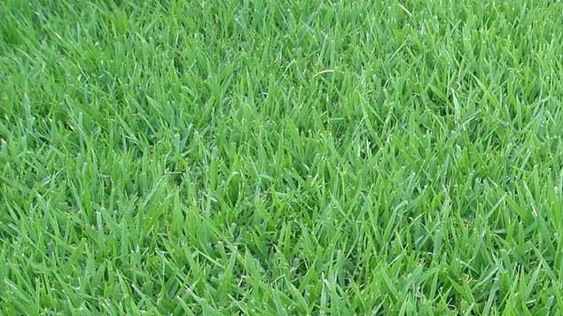 Magi Gramas grama-esmeralda Grama Esmeralda em Verissimo e Região – MG Grama, Grama Esmeralda, Gramas, Preço de Grama, Melhor Grama, Grama em, Onde comprar grama, Grama Batatais